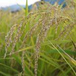 【日本の稲作】食糧管理制度から米の輸入自由化までを解説