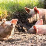 【豚】ヨークシャー種とバークシャー種の違いより、イベリコ豚やかごしま黒豚の方が重要