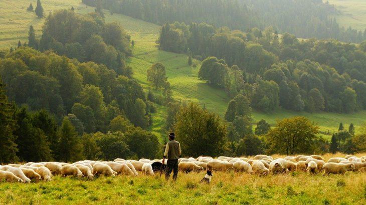 【羊】メリノ種・コリデール種・ロムニー種の特徴・違い【羊の飼育地】