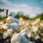 綿花栽培の盛んな地域や収穫時期を解説します